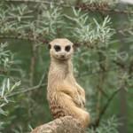 meerkat-2419142_1920